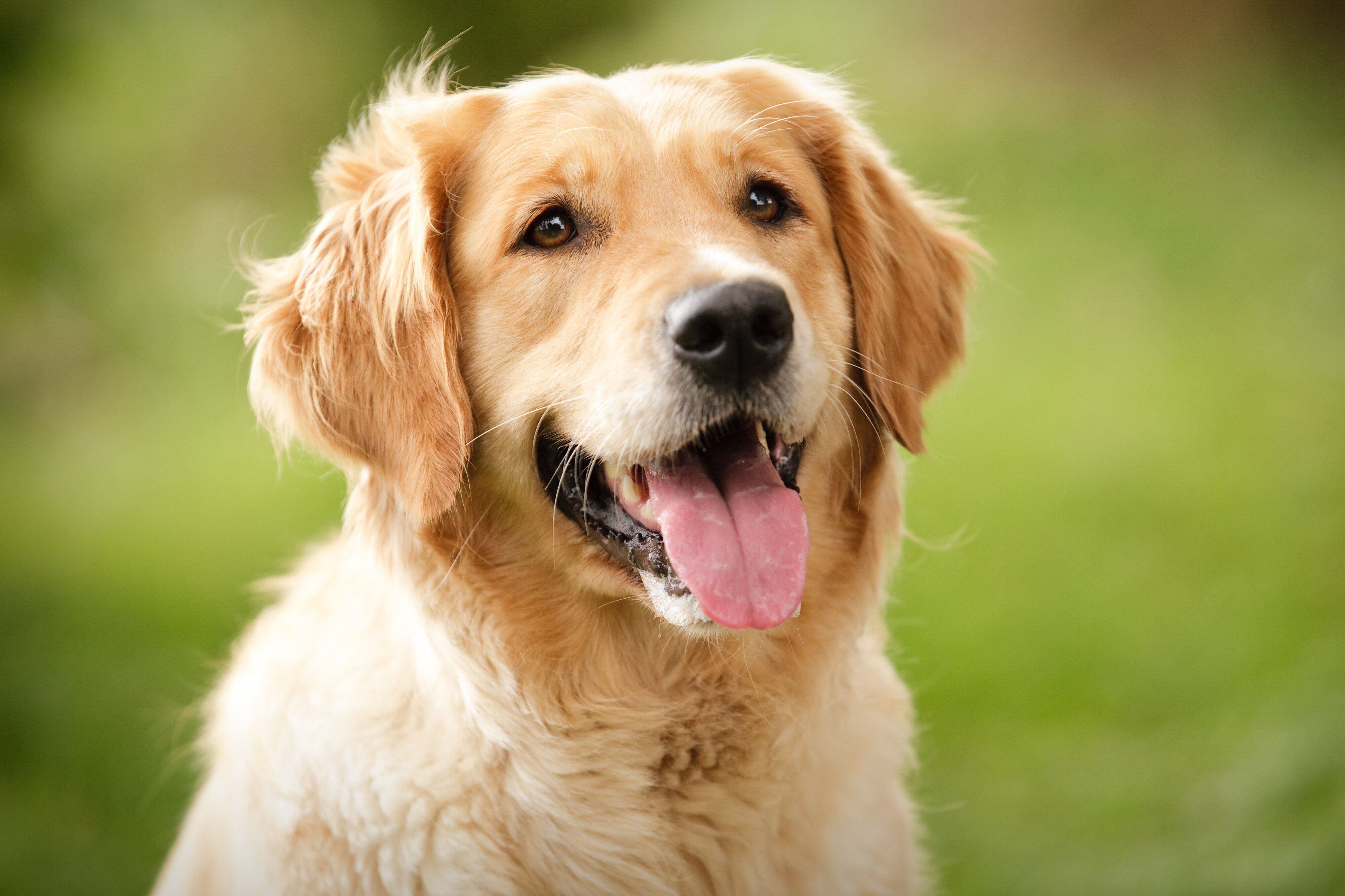 Golden Retriever: Everything You Need To Know – Puppy Buddy