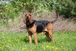 Puppy Buddy picture of a cute bloodhound standing in a field.