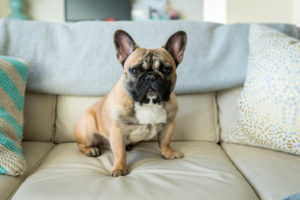 Puppy Buddy picture of a cute French bulldog sitting on the couch.