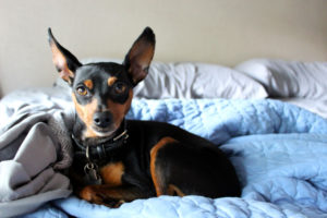 Puppy Buddy picture of a cute Miniature Pinscher puppy laying on a bed.