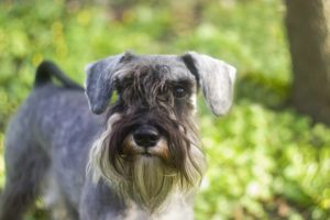 Puppy Buddy picture of cute Miniature Schnauzer puppy standing in field.