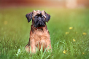 Puppy Buddy picture of Brussels Griffon puppy posing in grassy field.