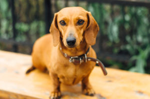 Puppy Buddy picture of cute Dachshund dog posing outside.