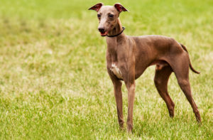 Puppy Buddy picture of cute Italian Greyhound puppy standing on grass.