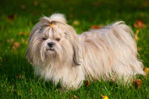 Puppy Buddy picture of cute Shih Tzu dog standing on grass.