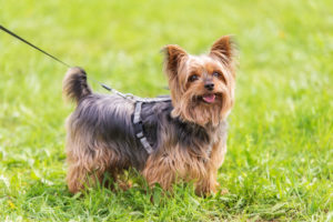 Puppy Buddy picture of cute Yorkshire Terrier puppy posing in the park.