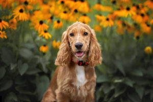 PuppyBuddy Cocker Spaniel dog posing for the camera with a flower background.