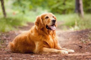 PuppyBuddy Golden Retriever dog sitting on a dirt path.