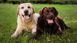 PuppyBuddy Labrador Retriever dogs sitting on a grassy field.