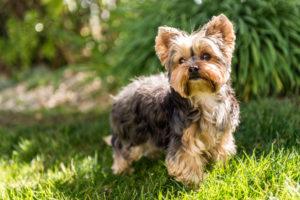 PuppyBuddy Yorkie dog posing on the grass.