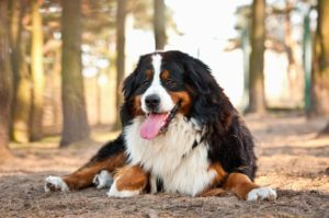 Puppy Buddy picture of cute Bernese Mountain Dog lying on dirt.