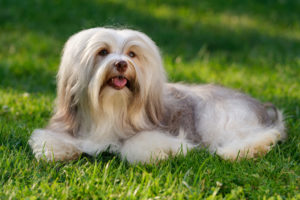 Puppy Buddy picture of long-haired Havanese dog sitting on a field.