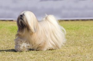 Puppy Buddy picture of Lhasa Apso dog with long hair walking across the field.
