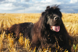 Puppy Buddy picture of Newfoundland dog with its tongue out.