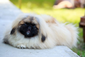 Puppy Buddy picture of cute Pekingese dog sitting on a grass.