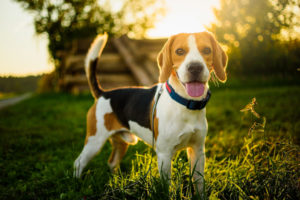 A Beagle puppy posing for the camera while standing in grass.