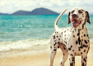 Dalmatian dog standing on sand in a beach during their travel.