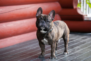 A French Bulldog puppy standing and looking at the camera.