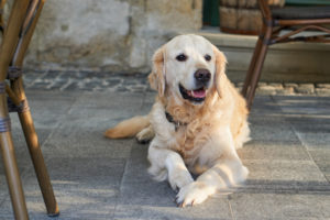 A happy Golden Retriever dog sitting on a street pavement surrounded by chairs during travel.