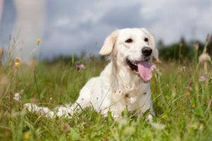 A cute Labrador Retriever dog lying in grass for travel.