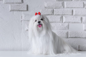 A Maltese dog with a cute red bow sitting in front of a white brick wall.