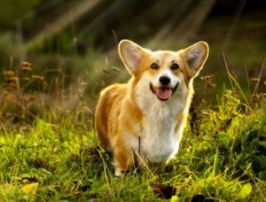 A Pembroke Welsh Corgi puppy posing on a grassy field.
