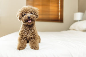 A cute Toy Poodle sitting on a bed during travel.