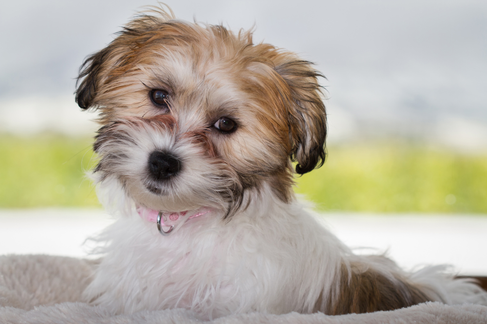 Cavachon: Everything You Need To Know